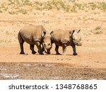 A Pair Of White Rhino By A...