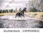 Andalusian Stallion. Pura Raza...