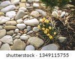 Yellow Crocus Flower Blooms In...