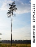 lonely pine tree on the... | Shutterstock . vector #1349162138