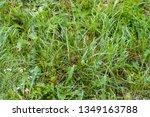 wet green grass in the rain.... | Shutterstock . vector #1349163788