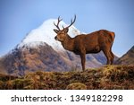 Red Deer Stag In Scotland...