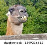 The Animal Llama  Lama Glama ...
