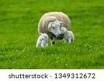 Texel Cross Ewe  Female Sheep ...