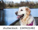 golden retriever on dock | Shutterstock . vector #1349421482
