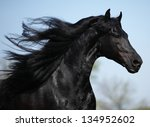 Gorgeous Friesian Stallion Wit...