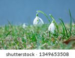 snowdrops  galanthus early... | Shutterstock . vector #1349653508