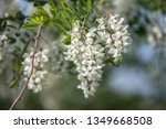 the acacia flower season | Shutterstock . vector #1349668508