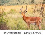 impala ram starring at the... | Shutterstock . vector #1349757908