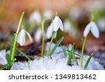 snowdrops  galanthus  in the... | Shutterstock . vector #1349813462
