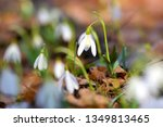 snowdrops  galanthus  in the... | Shutterstock . vector #1349813465