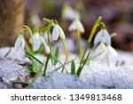 snowdrops  galanthus  in the... | Shutterstock . vector #1349813468