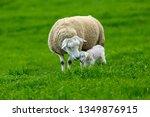 Texel Ewe  Female Sheep With...
