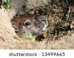 a groundhog in its hole. ottawa ...   Shutterstock . vector #13499665