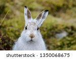 Stock photo the mountain hare also known alpine hare or irish hare is a palearctic hare that is largely 1350068675