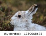 Stock photo the mountain hare also known alpine hare or irish hare is a palearctic hare that is largely 1350068678