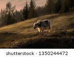 Small photo of Yack grazing in a mountain at sunset.