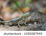 lizard tropidurus sp. | Shutterstock . vector #1350287945