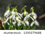 early flowering snowdrops ... | Shutterstock . vector #1350379688