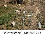 dead fish bodies on spanish... | Shutterstock . vector #1350431315