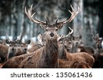 Red Deer Stag And Herd  Cervus...