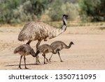 Emu Large Australian Bird