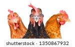 Portrait Of  Three Chickens...