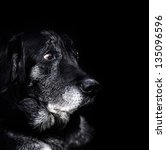 Animal   Old Dog. Labrador...