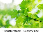spring green leaves background...   Shutterstock . vector #135099122