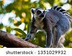 ring tailed lemur  lemur catta  | Shutterstock . vector #1351029932