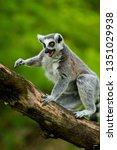 ring tailed lemur  lemur catta  | Shutterstock . vector #1351029938