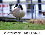 Canada Goose Is Curious