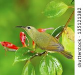 Small photo of Beautiful yellow bird, female Black-throated Sunbird (Aethopyga saturata), standing on a branch