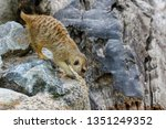 the suricata suricatta or... | Shutterstock . vector #1351249352