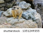 the suricata suricatta or... | Shutterstock . vector #1351249355