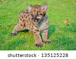 Cougar Cubs Are Born With A...