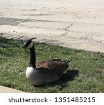 Canadian Goose Resting In The...