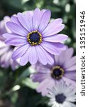 African Daisies With Room For...