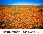 callahan captures poppies in... | Shutterstock . vector #1351604012