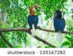 great hornbill | Shutterstock . vector #135167282