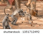 moments of langur monkey with...   Shutterstock . vector #1351712492