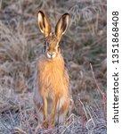 Stock photo european brown hare 1351868408