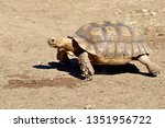 Stock photo closeup of african spurred tortoise or sulcata tortoise centrochelys sulcata seen from profile 1351956722