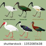 Cute wading bird vector illustration set, Australian white ibis, Hadada, African sacred, American white, Straw-necked, Glossy Ibis, Colorful bird cartoon collection