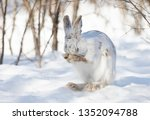 Stock photo white snowshoe hare or varying hare cleaning itself in the winter snow in canada 1352094788