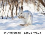 Stock photo white snowshoe hare or varying hare cleaning itself in the winter snow in canada 1352179625