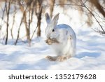 Stock photo white snowshoe hare or varying hare cleaning itself in the winter snow in canada 1352179628