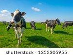 Herd Of Cows In A Green Meadow...