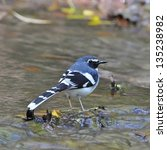 Small photo of Beautiful Slaty-backed Forktail bird (Enicurus schistaceus), back profile, standing on the stream waterfall
