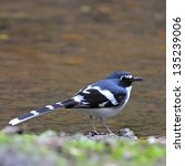Small photo of Beautiful Slaty-backed Forktail bird (Enicurus schistaceus)